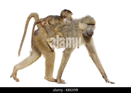 Female olive baboon (Papio anubis) with a baby on the back, isolated on white background. - Stock Photo