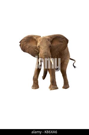 African elephant (Loxodonta Africana) charging, isolated on white background. - Stock Photo