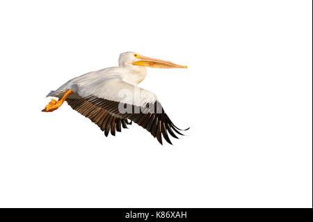 American white pelican (Pelecanus erythrorhynchos) flying, isolated on white background. - Stock Photo