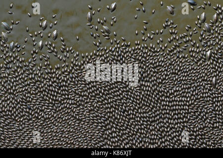 Swarming of whirligig beetles (family Gyrinida) on river water surface, Wyalusing State Park, Wisconsin, USA. - Stock Photo