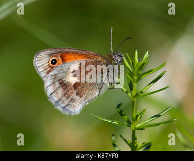 Small Heath butterfly perched on Lady's Bedstraw. Hurst Meadows, East Molesey, Surrey, UK. - Stock Photo