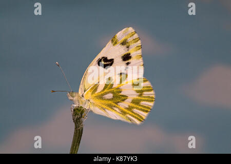 Portrait of a Becker's White Butterfly, Pontia beckerii, also known as Great Basin White and Sagebrush White, on - Stock Photo