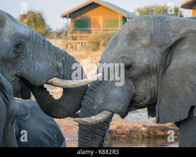 Two African elephants drinking head to head at waterhole with safari tent in background, Botswana, Africa. - Stock Photo