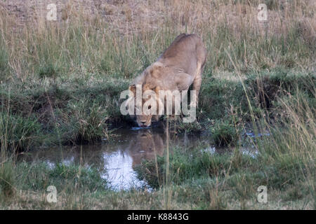 A young male lion takes a break from huntingto lap water from a waterhole on the Masai Mara, Kenya - Stock Photo