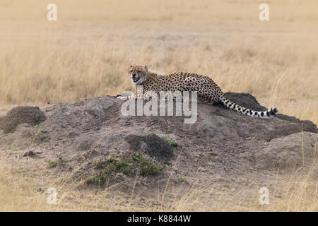 A young cheetah snarls at the camera as she looks for prey from an elevated position on the Masai Mara, Kenya - Stock Photo