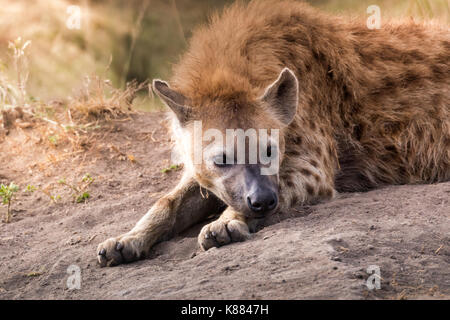 Spotted Hyena resting in the late afternoon on the Masai Mara, Kenya - Stock Photo
