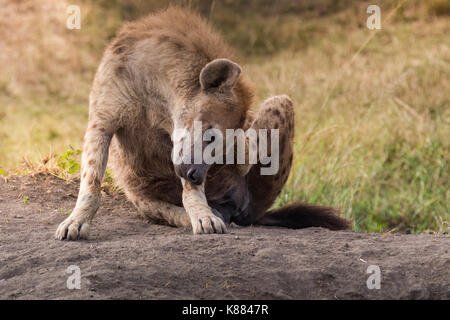 Spotted Hyena having a scratch in the late afternoon on the Masai Mara, Kenya - Stock Photo