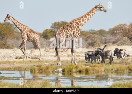 Angolan giraffes, Giraffa giraffa angolensis, and Burchell's zebra, Equus quagga burchellii, standing in grassland - Stock Photo
