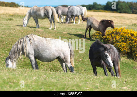 Hergest Ridge wild ponies high up on the border between England and Wales - Stock Photo