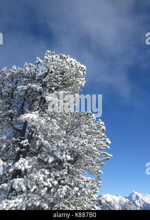 Mayrhofen Mountains. This photo dates to December 2013 and shows  snow-laden tree in the mountains—Alps—behind the - Stock Photo