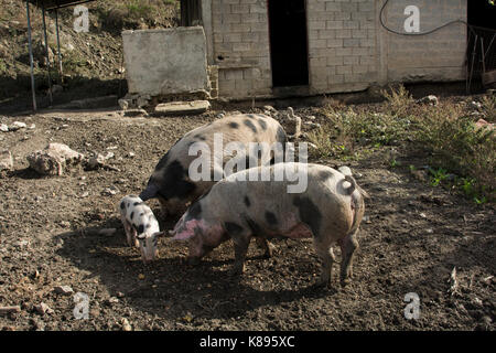 Piglet in Patsos in the mountains of central Crete.   Ferkel im Herzen Kretas. - Stock Photo