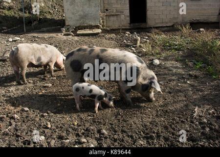 Domestic Pigs in Patsos in the mountains of central Crete.  Hausschweine im Herzen Kretas. - Stock Photo
