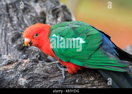 Australian king parrot (Alisterus scapularis) male, native to eastern Australia - Stock Photo