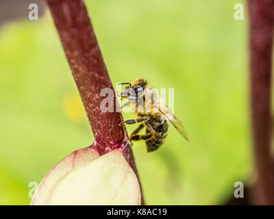 Pollinating. Honey bee sitting on a red flower sprig. Macro view. Close-up photography. Green background. - Stock Photo