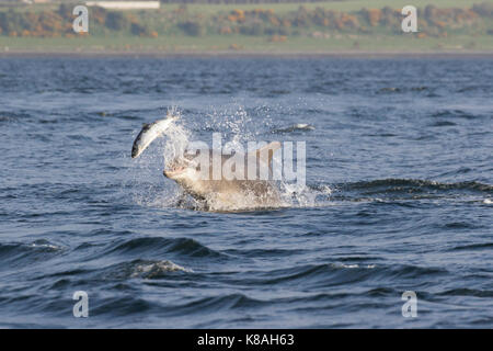 Bottlenose dolphin (Tursiops truncatus) hunting/chasing salmon in the Moray Firth, Chanonry Point, Black Isle, Scotland, - Stock Photo