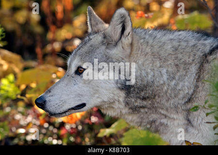 Gray or Timberwolf female, walking in forest,  portrait close up - Stock Photo