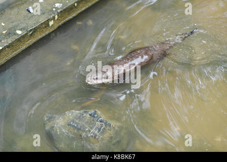 Photo of an animal called Asian Small-Clawed Otter - Scientific name : Aonyx Cinereus (selective focus) - Stock Photo
