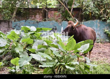 Photo of an animal called Indian Gour - Scientific name : Bos Gaurus Gaurus (selective focus) - Stock Photo