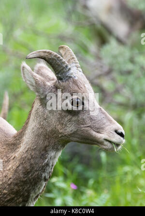 Close up of a female bighorn sheep eating grass. Her head and neck is photographed in profile. - Stock Photo