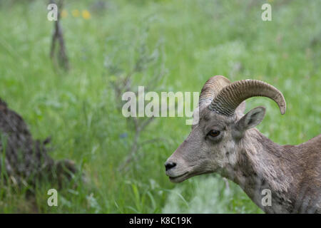 Close up of the head and neck of a female bighorn sheep facing left. - Stock Photo