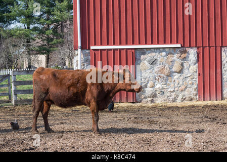 Brown Cow and two chickens in a farm - Stock Photo