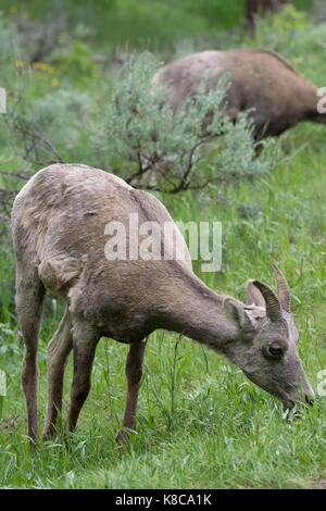 Close up of a grazing bighorn sheep ewe. She is eating lush green grass. - Stock Photo