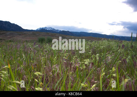 Close up of the grasses with lavender and light green seed heads in a meadow in Yellowstone National Park - Stock Photo