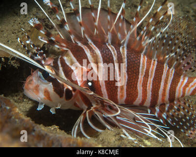 Lionfish on the Coral,Philippines - Stock Photo