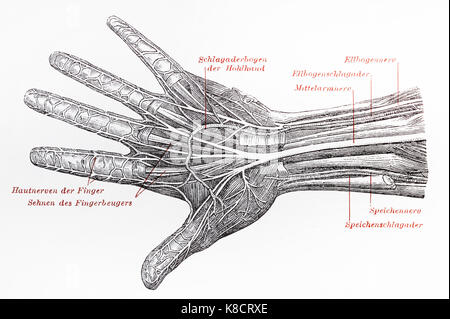 Vintage 19th century drawing of a human hand nervous system - Stock Photo
