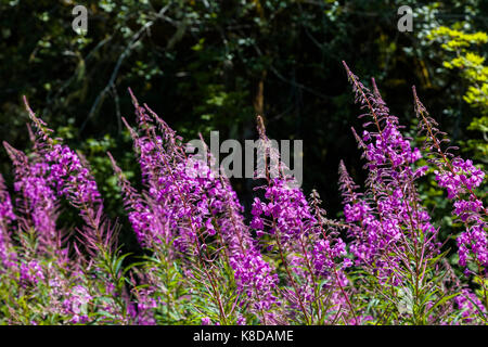Chamaenerion angustifolium, commonly known in North America as fireweed in Northwest Washington State - Stock Photo