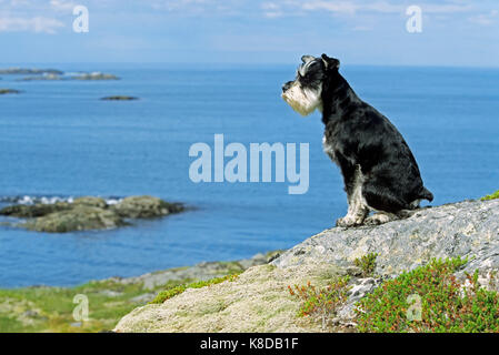 Miniature Schnauzer, black-silver at the coast, Lofotes, Norway | Zwergschnauzer, schwarz-silber an der Kueste, - Stock Photo
