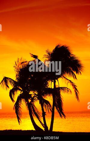 Coconut Palms at sunset, Sanibel Island, Florida, USA / (Cocos nucifera) | Kokospalmen bei Sonnenuntergang, Sanibel - Stock Photo