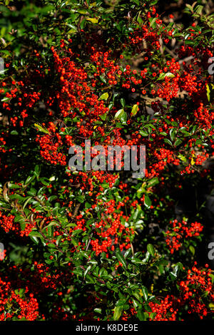 Pyracantha bush with bright Red berries -Pyracantha coccinea - Stock Photo