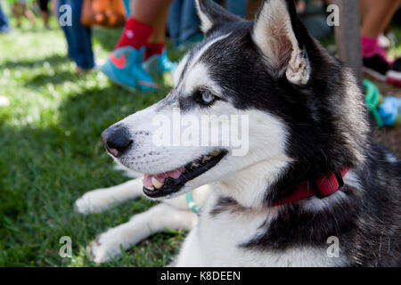 Siberian husky dog sitting in park, close up - USA - Stock Photo