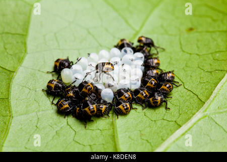 Brown marmorated stink bug hatchlings (Halyomorpha halys) - USA - Stock Photo