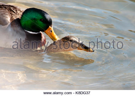 Mallards mating on a sunny morning in late winter at the Port Washington, Wisconsin harbor - Stock Photo