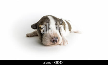 A newborn blind puppy of brown coloring close-up on a white background. - Stock Photo