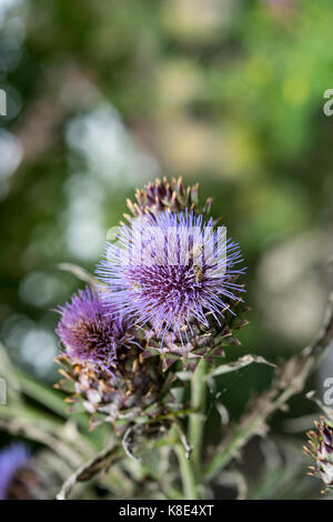 Milk Thistle in full bloom growing in the garden. The plant is used both as medicine and as a health diet supplement. - Stock Photo
