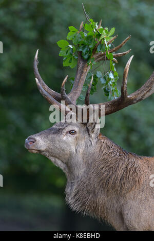 Red deer (Cervus elaphus), portrait, capital deer with leaf branch in antler, Imponiergehoff, place stag, Zealand, - Stock Photo