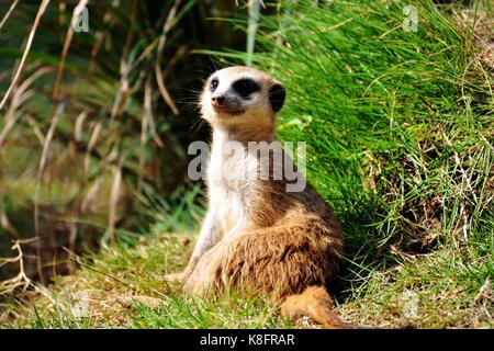 Qingdao, China. 19th Sep, 2017. Ten meerkats can be seen at a zoo in Qingdao, east China's Shandong Province. The - Stock Photo