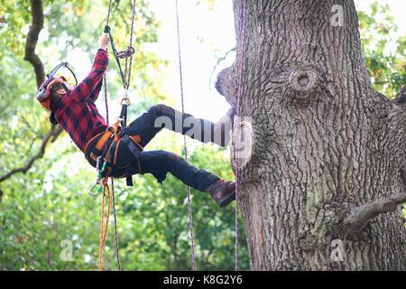Trainee teenage male tree surgeon climbing up tree trunk - Stock Photo