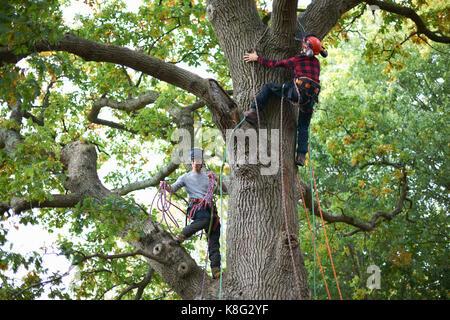 Two male trainee tree surgeons climbing up tree trunk - Stock Photo