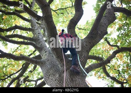 Rear view of trainee teenage male tree surgeon climbing up tree trunk - Stock Photo