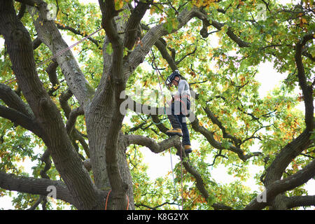 Young male trainee tree surgeon standing on tree branch - Stock Photo