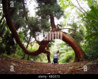 Woman pushes pushchair beneath twisted pine in the castle gardens - Stock Photo