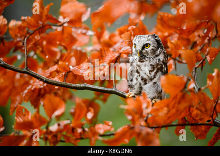Tengmalm's Owl - Aegolius funereus - Stock Photo