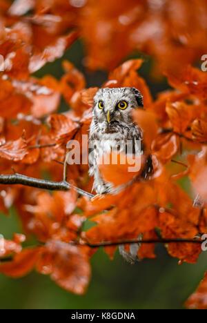 Tengmalm's Owl - Aegolius funereus - Stock Photo