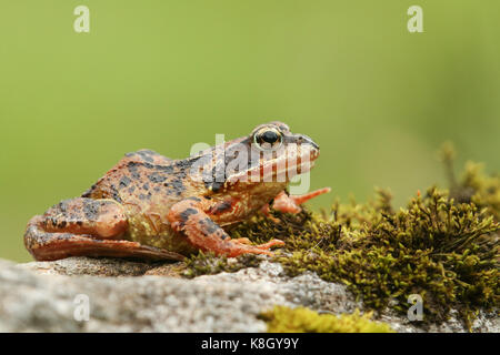 A Common Frog or European Common Frog (Rana temporaria) sitting on a rock covered in moss. - Stock Photo
