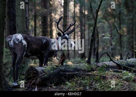 A reindeer with big horns walks through a dark forest in autumn. - Stock Photo