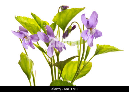 Violets isolated on a white background. - Stock Photo
